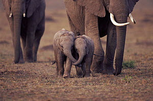 Two baby African elephants with trunks entwined. Masai Mara, Kenya - Anup Shah
