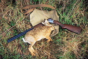 European hare {Lepus europaeus} shot with gun beside, UK - Martin H Smith