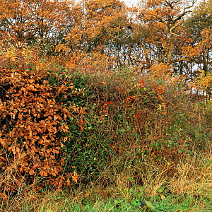 Guelder rose, Holly, Black bryony, Black nightshade, Hawthorn, Rosehips growing in ancient hedgerow, UK. - Jason Smalley