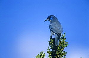 Pinyon jay {Gymnorhinus cyanocephala} perched on Juniper tree, Arizona, USA. vulnerable species  -  Nigel Bean