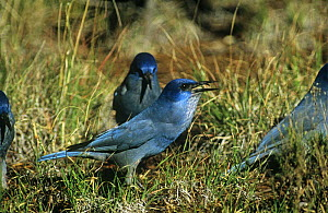 Pinyon jay {Gymnorhinus cyanocephala} carrying Pinyon pine seed {Pinus edulis} Arizona, USA. Vulnerable species. The Pinyon jay feeds almost exclusively on these seeds. It hides them in ground and has...  -  Nigel Bean