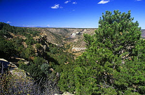 Pinyon pine and Juniper forest in canyon, New Mexico, USA. Habitat of the Pinyon jay {Gymnorhinus cyanocephala}, vulnerable species  -  Nigel Bean