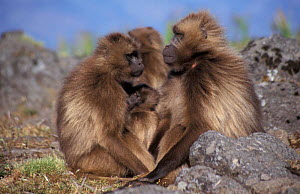 Gelada baboons, harem male with female + young {Theropithecus gelada}, Simien Mtns, Ethiopia,  -  Miles Barton