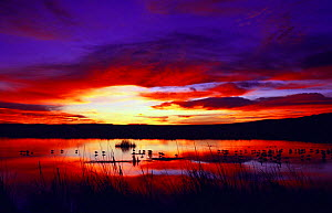 Snow geese at sunset {Chen caerulescens} Bosque del Apache, NM, USA.  -  Tom Vezo