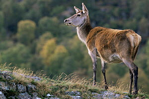 Red deer doe {Cervus elaphus} Inverness, Scotland - Geoff Scott-Simpson