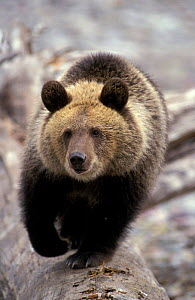 Grizzly bear walking towards camera {Ursus arctos horribilis} North America, captive  -  Mary McDonald