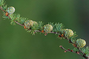 European larch tree {Larix decidua} cones on branch, UK - Geoff Scott-Simpson