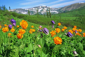 Subalpine meadow with Globeflower {Trollius asiaticus} in the Kuznetskii Alatay Mountains, Siberia, Russia  -  Konstantin Mikhailov