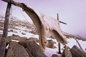 Polar bear skins drying {Ursus maritimus} Little Diomede Is, Alaska, USA - Mike Potts