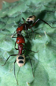 Two Carpenter ants {Camponotus sp} fighting on Nara melon fruit, Namibia, Southern Africa - Claudio Velasquez