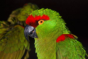 Thick billed parrot, native to Mexico. Endangered species  -  Rod Williams