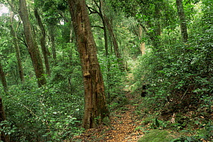 Path through Shola tropical rainforest, indigenous forest habitat, Palni Hills, Western Ghats, Tamil Nadu, Southern India  -  Ian Lockwood