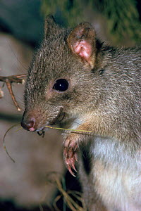 Brush tailed bettong, also known as Woylie, Australia - Rod Williams