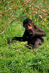 Colombian black spider monkey, vulnerable species native to Colombia & Panama  -  Rod Williams