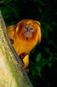 Portrait of Golden lion tamarin {Leontopithecus rosalia} occurs Brazil, Rio de Janeiro State  -  Rod Williams
