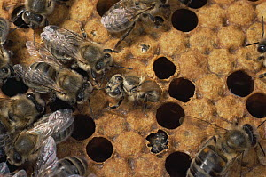 Honey bees {Apis mellifera}  worker bee emerging in hive, UK  -  Neil Bromhall