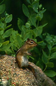 Eastern american chipmunk {Tamias striatus} Long Island, NY, USA  -  Tom Vezo