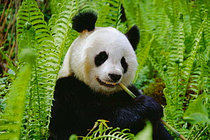 Giant panda feeding {Ailuropoda melanoleuca}  Qionglai mtns, Sichuan, China. Did you know? Before the 20th century the Panda was known as the 'Parti coloured bear' or the 'Mottled bear' and not Panda. - Lynn M Stone