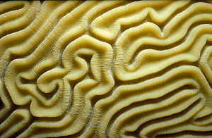 Close up of Brain coral {Diplora strigosa} Caribbean - Jeff Rotman