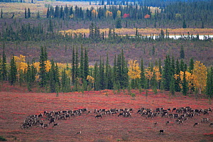 RF- Caribou herd (Rangifer tarandus) grazing on tundra. Kobuk Valley National Park, Alaska, USA. (This image may be licensed either as rights managed or royalty free.) - Staffan Widstrand