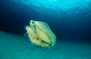 Upside down jellyfish {Cassiopeia) Caribbean  -  Jurgen Freund