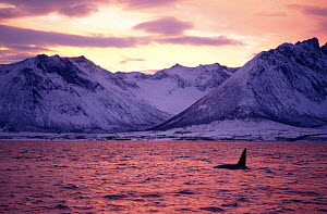 Male Killer whale {Orcinus orca} at surface, Tysfjord mountains, sunset, Autumn, Norway  -  Martha Holmes
