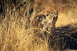 Wild cat {Felis sylvestris} Spain  -  Juan Manuel Borrero