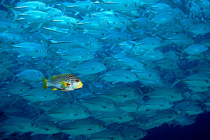 Lined sweetlips fish swims with shoal of Large-eyed jacks. Digitally manipulated image  -  Georgette Douwma
