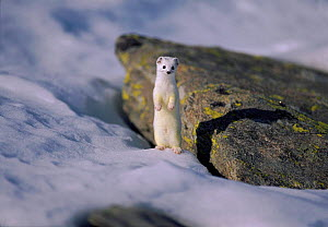 Stoat / Ermine surveying surroundings , Alps, Europe  -  Elio Della Ferrera