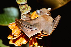 Rousette fruit bat feeding on wild bananas {Rousettus aegyptiacus} Papua New Guinea  -  Phil Chapman
