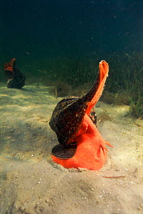 Horse conch on sea bed, Florida, USA - Michael Pitts