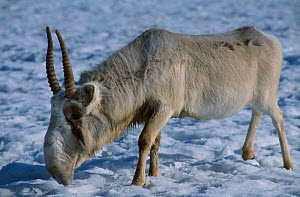 Saiga antelope male {Saiga tatarica} native to Kazakhstan steppe, Russia. Winter. Endangered species - hunted almost to extinction for its horn, used in chinese medecine.  -  Paul Johnson
