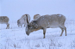 Saiga antelope in snow storm {Saiga tatarica} Endangered species native to Kazakhstan steppe, Russia - hunted for its horn used in Chinese medecine.l  -  Paul Johnson