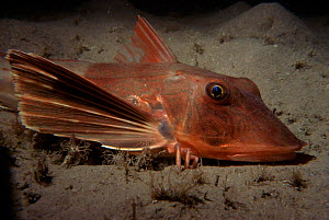 Red gurnard walking on seabed {Trigla pini} Jersey, Channel Is, UK - Sue Daly
