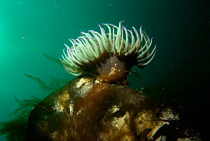 Snakeslock anemone {Anemonia viridis} Jersey, Channel Is, UK  -  Sue Daly