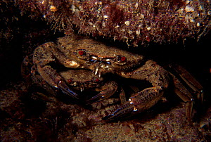 Velvet swimming crab pair,  male guarding female {Liocarcinus puber} Jersey, Channel Is, UK  -  Sue Daly