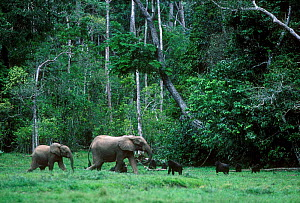 Western lowland gorillas and Forest elephants in clearing in tropical rainforest, Obandas Bai, Odzala NP, Rep of Congo  -  Jabruson