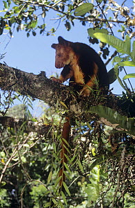 Goodfellow's tree kangaroo {Dendrolagus goodfellowi} in tree, Papua New Guinea, endangered species  -  Phil Chapman