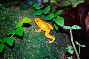 Golden poison dart frog {Phyllobates terribilis}  -  Sue Daly