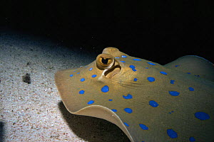 Ribbontail ray {Taeniura lymna} Red Sea  -  Sue Daly