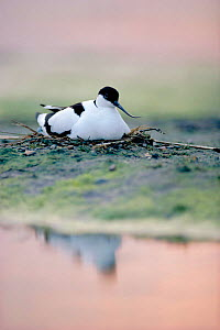 Avocet incubating eggs at nest {Recurvirostra avosetta}, at dusk, Suffolk, England UK - Chris Gomersall