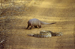 Indian grey mongoose {Herpestres edwardsi} watching Python, Yala NP, Sri Lanka  -  Toby Sinclair