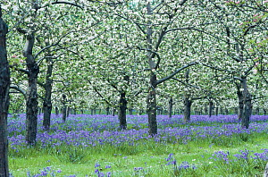 Apple tree blossom with bluebells - Orchard in Hinknowle, Dorset, England  -  Colin Varndell