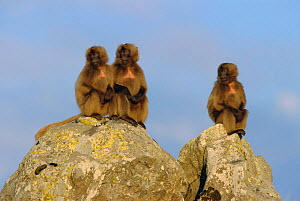 Gelada baboon juvenile group {Theropithecus gelada} sitting on rocks, Simien Mt NP, Ethiopia  -  Ingo Arndt