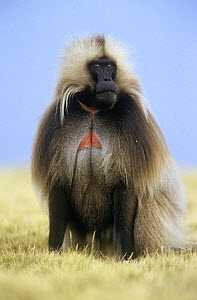 Gelada baboon {Theropithecus gelada} male, Simien Mountains NP, Ethiopia  -  Ingo Arndt