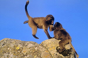 Gelada baboon {Theropithecus gelada} juveniles playing on rocks, Simien Mountains NP, Ethiopia  -  Ingo Arndt