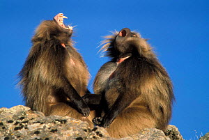 Gelada baboon males threat display {Theropithecus gelada} Simien Mt NP, Ethiopia  -  Ingo Arndt