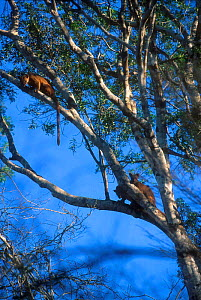 Three Fossas in tree, two are mating,  Western Dry Forest, Madagascar  -  Pete Oxford