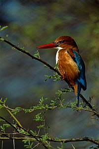 White breasted kingfisher {Halcyon smyrnensis} India. - Staffan Widstrand