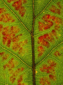 Red oak {Quercus rubra} close-up of leaf showing autumn colour change, UK,  Sequence 1/3 - Chris O'Reilly